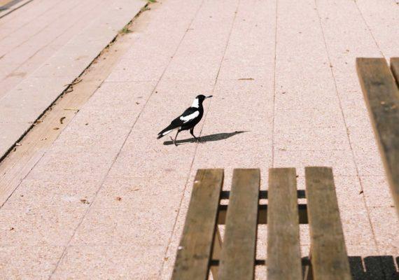 Сезон агрессивных Magpie, защищающих птенцов