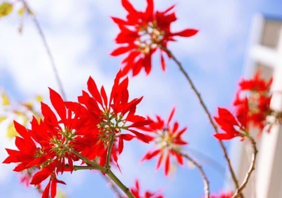 Растения в Австралии. Пуансеттия